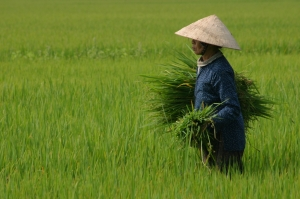 Rice crop in Vietnam